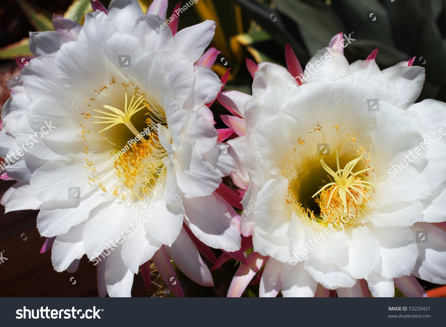 Two Large Blooming White Cactus Flowers Stock Photo Edit Now