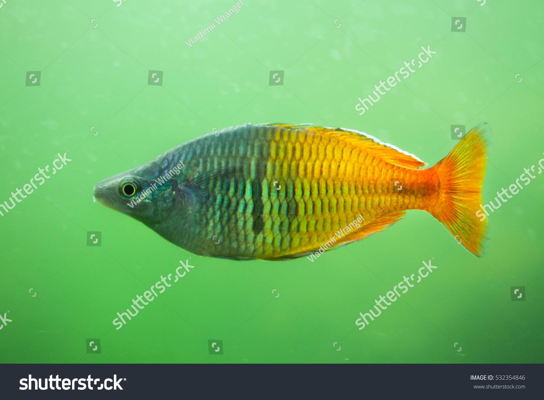 Boesemans Rainbowfish Melanotaenia Boesemani Freshwater Fish Stock ...