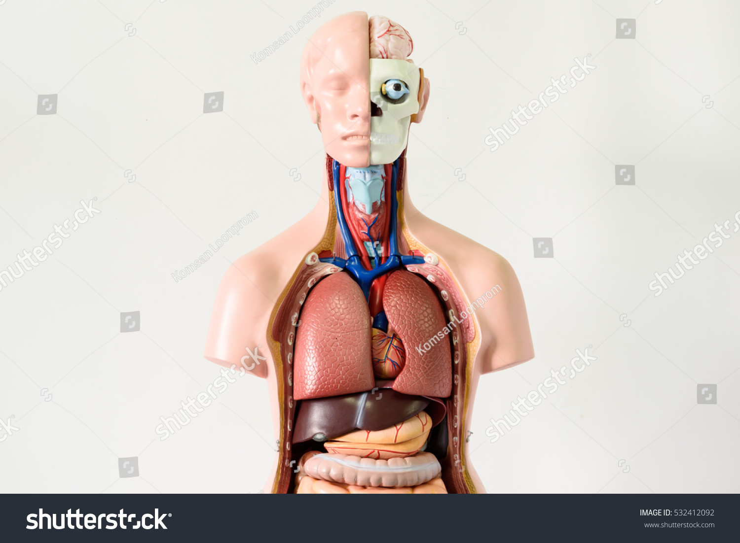 Upper Human Body Anatomy Model On Stock Photo (Edit Now) 532412092 ...