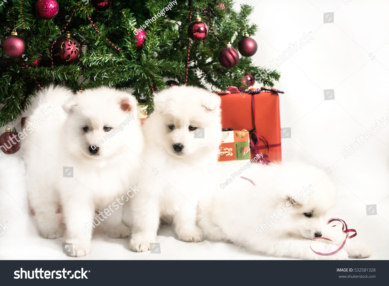 Three beautiful white siberian samoyed puppy stock photo 532581328 three beautiful white siberian samoyed puppy playing under the christmas tree voltagebd Image collections