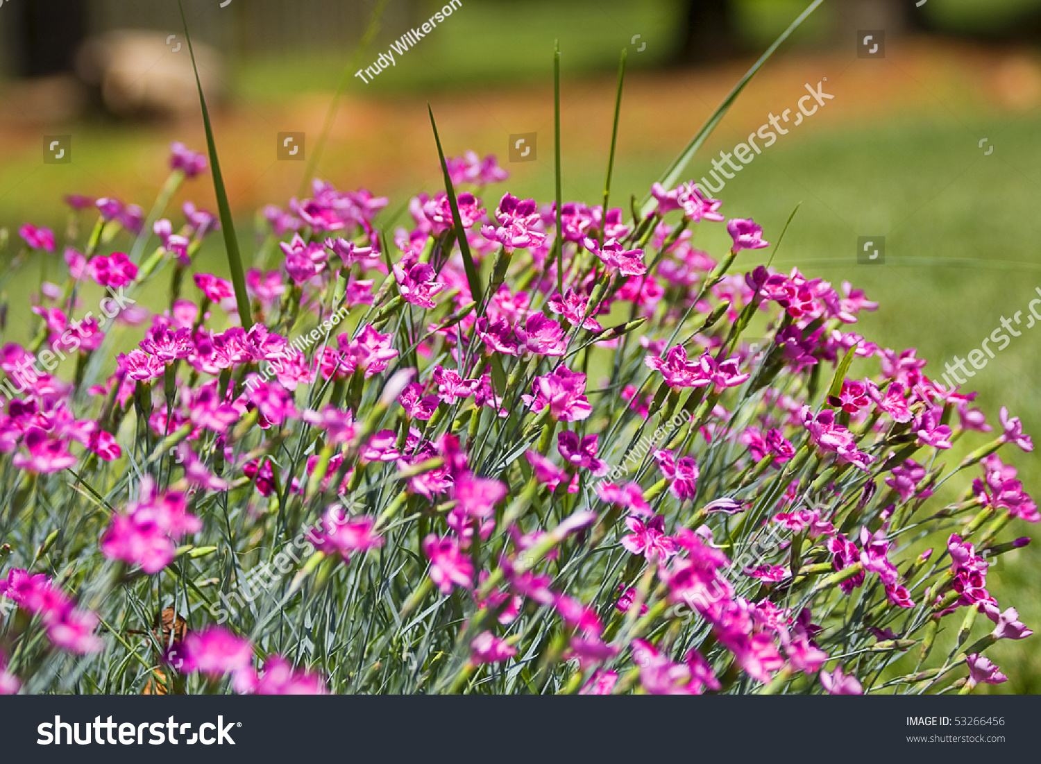 Small Purple Flowers Bits Grass Throughout Stock Photo Image