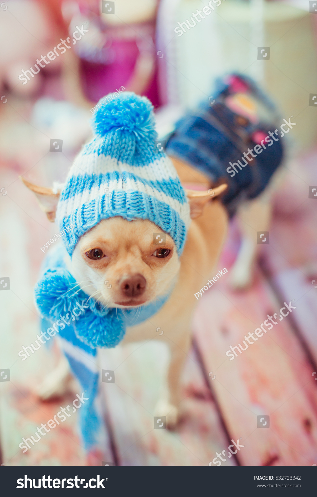 Funny Chihuahua Blue Winter Hat Stock Photo (Edit Now) 532723342 ... 383019a6971