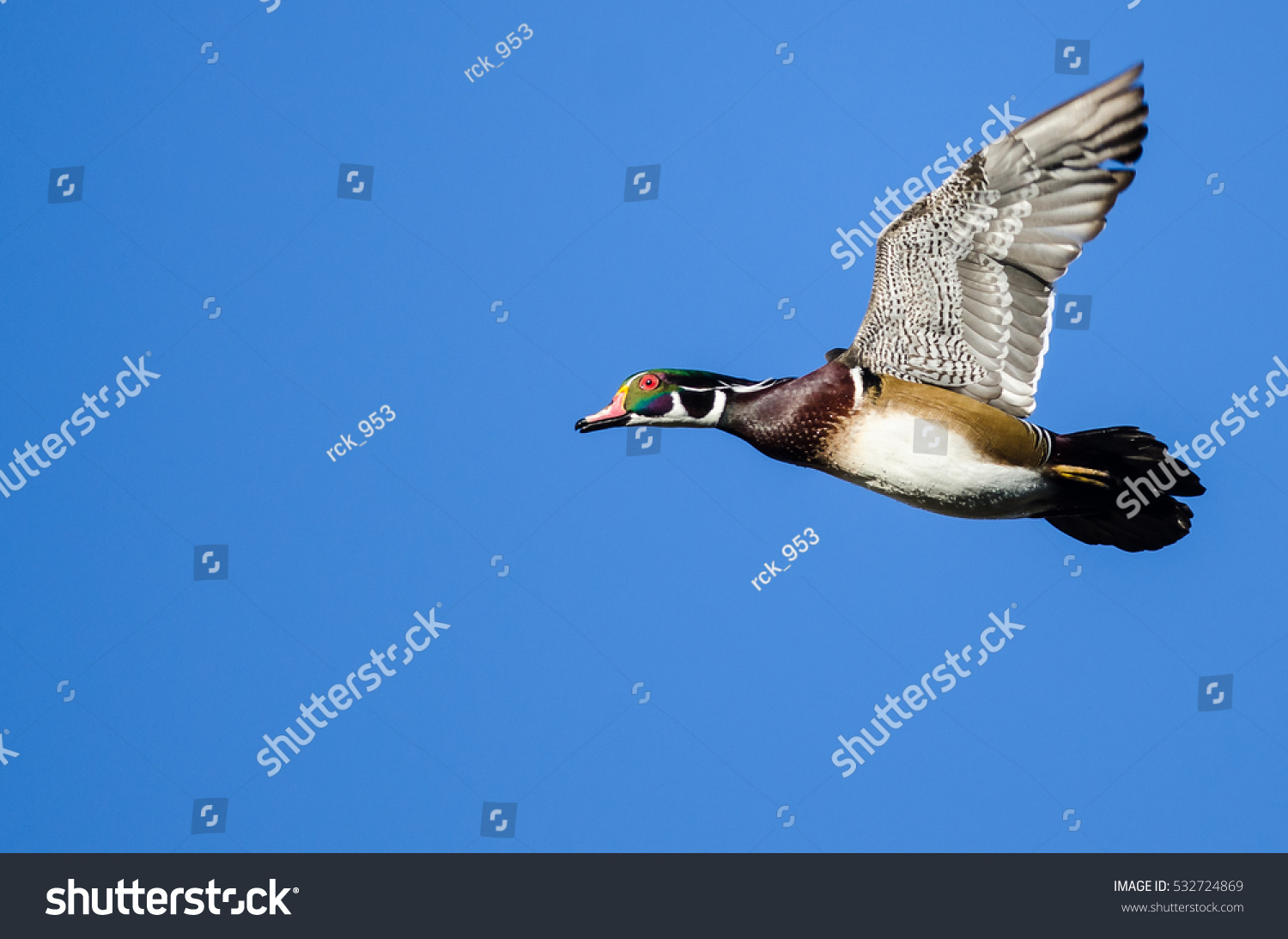 Male Wood Duck Flying Blue Sky Stock Photo (Edit Now