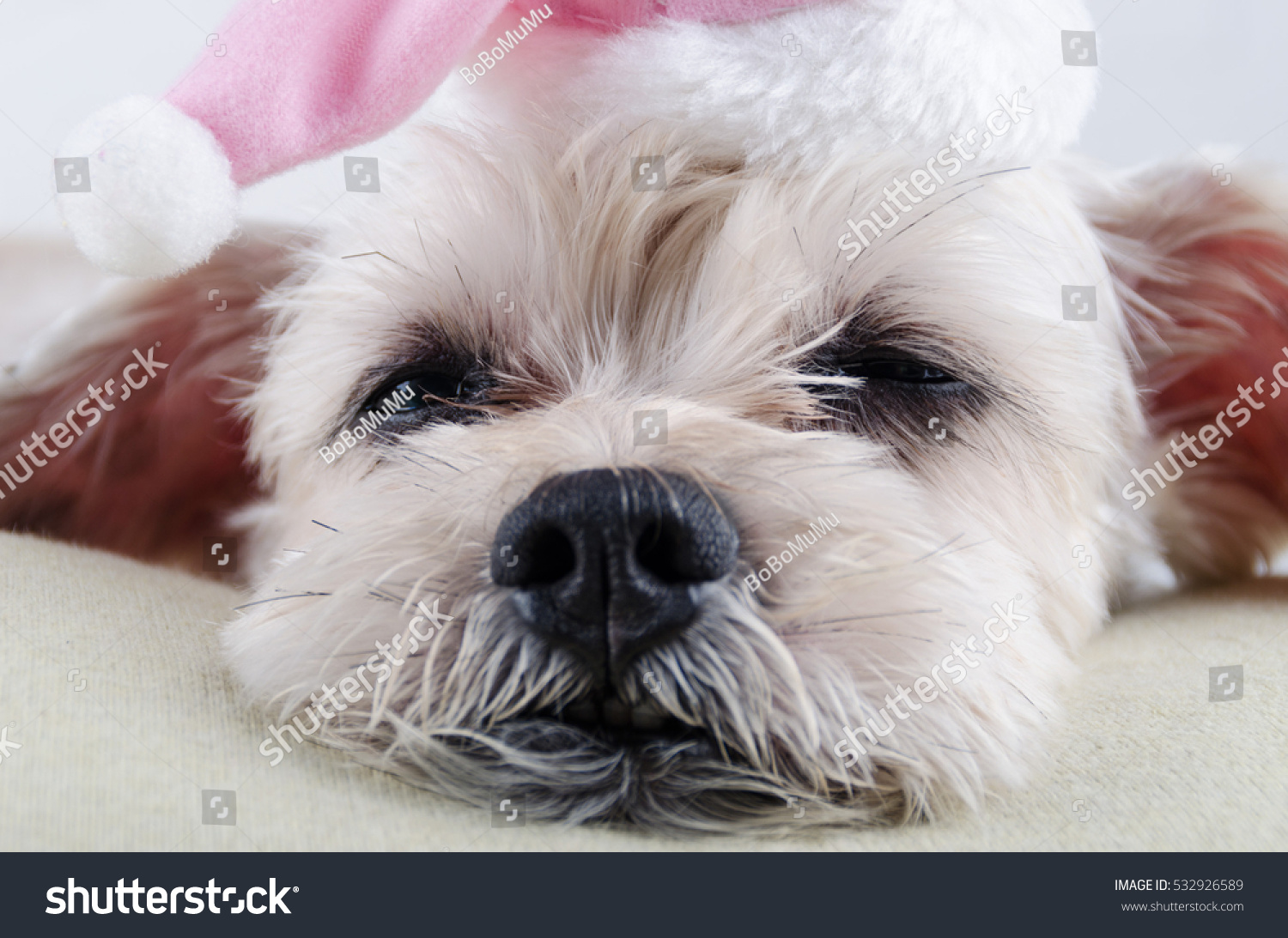Cute Short Hair Mixed Breed Puppy Shih Tzu Schnauzer With Hat