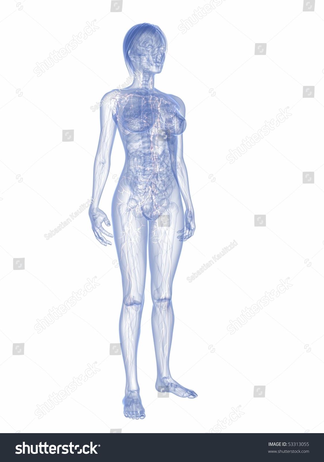Female Lymphatic System Stock Illustration 53313055 Shutterstock