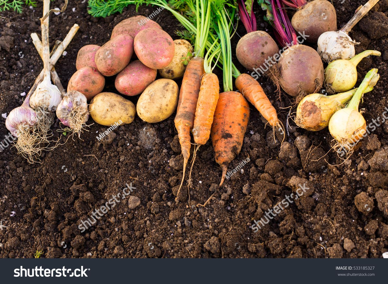 Harvest Fresh Vegetables On Ground Garden Stock Photo (Royalty Free ...