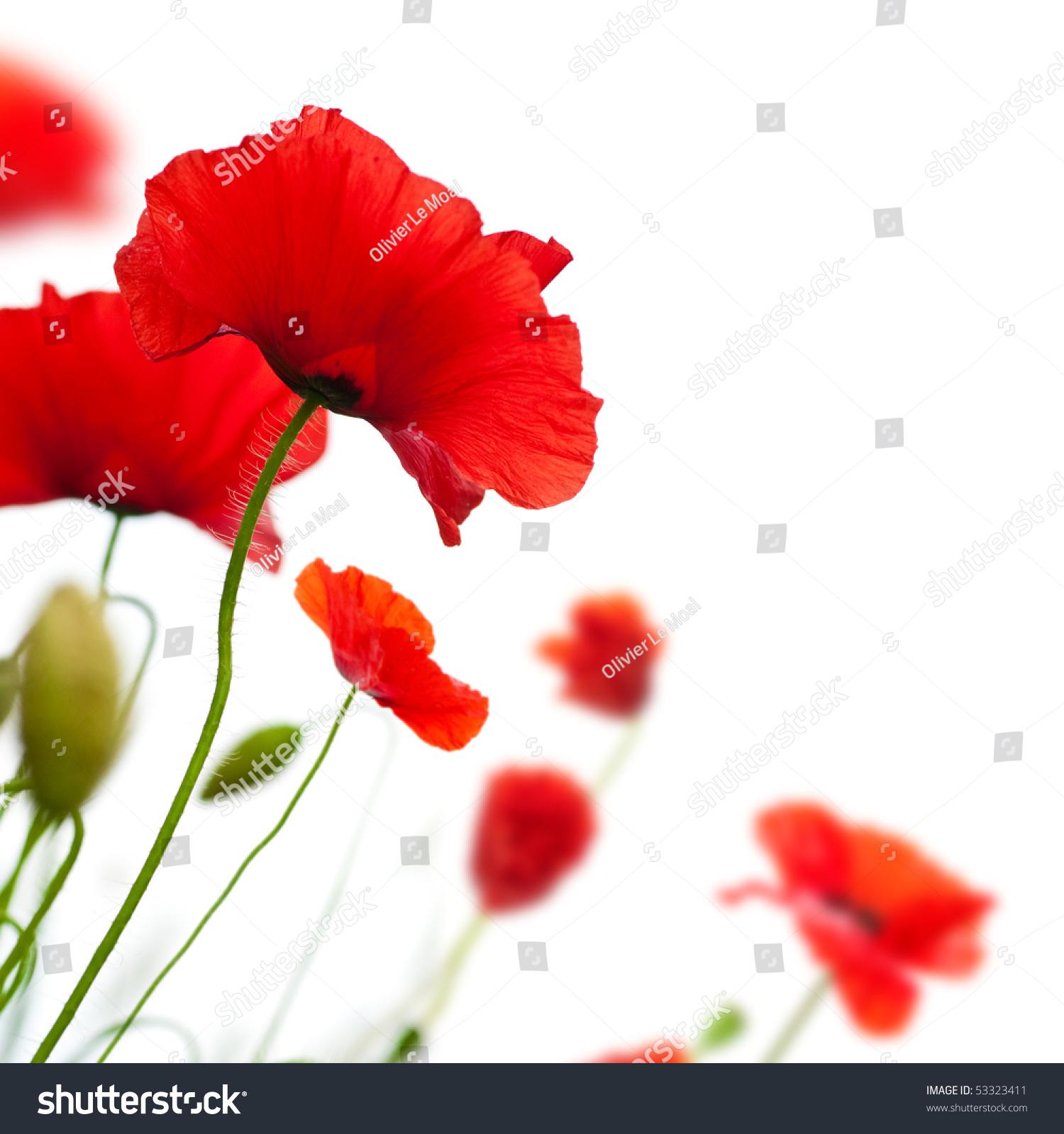 poppy red background - photo #18