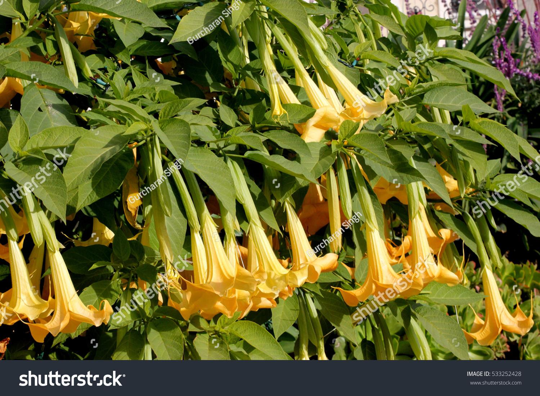 Brugmansia Suaveolens Angels Trumpet Shrub Tree Stock Photo Edit