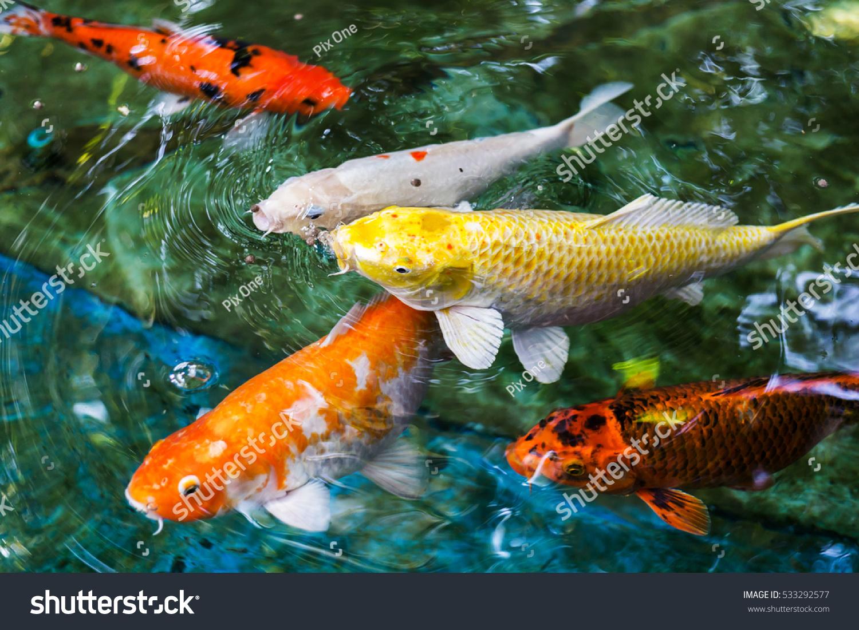 Colorful Fish CARP Fancy Carp Stock Photo (Royalty Free) 533292577 ...