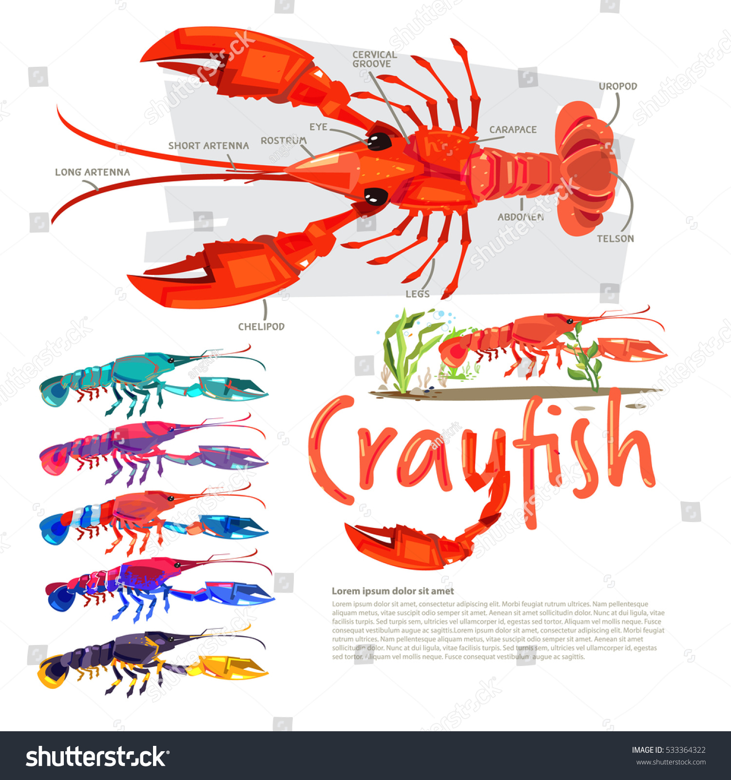Crayfish With Information. Infographic Style. Separate