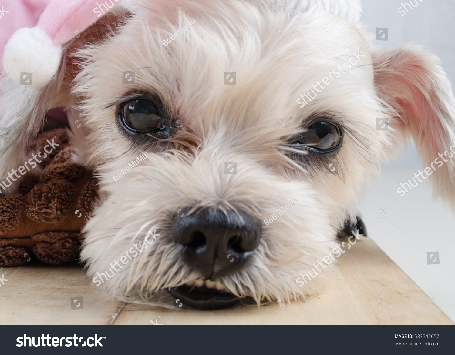Cute Short Hair Mixed Breed Puppy Shih Tzu Schnauzer With