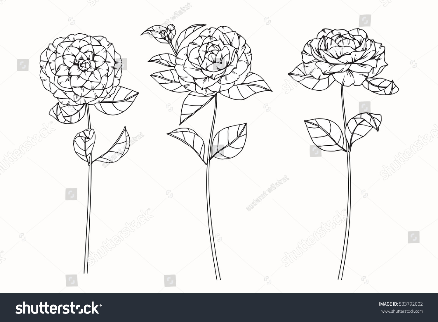 Camellia Flower Line Drawing : Collection set camellia flower by hand stock vector