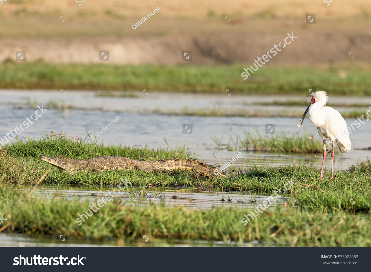 An African spoonbill (Platalea alba) and a Nile crocodile (Crocodylus niloticus) on the bank of the Chobe river which is the border between Namibia and Botswana.