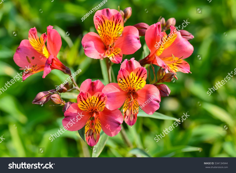 Beautiful flowers peruvian lily alstroemeria plant stock photo safe beautiful flowers of peruvian lily alstroemeria plant izmirmasajfo