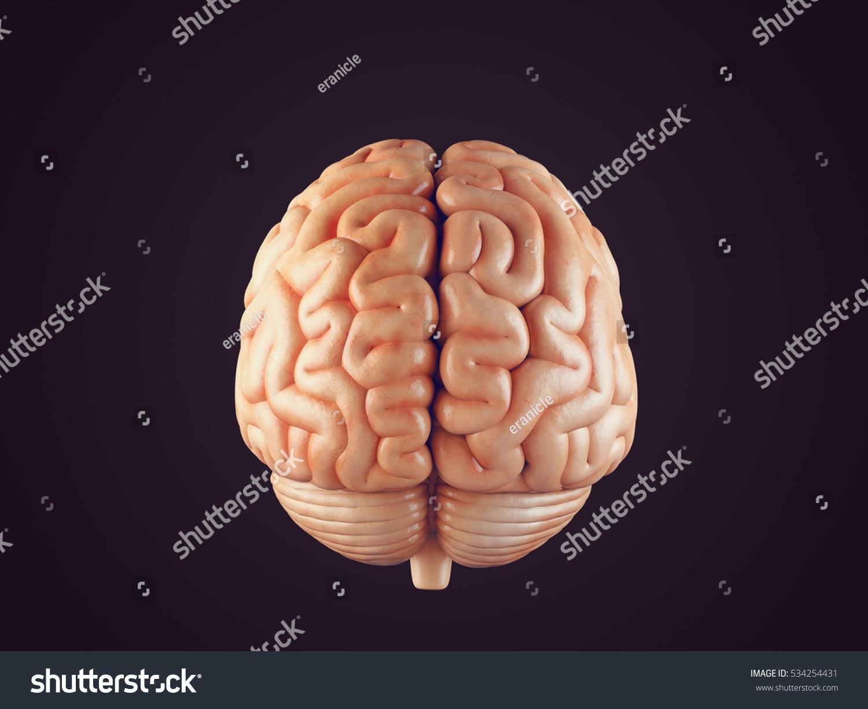 Realistic 3d Illustration Human Brain Front Stock ...