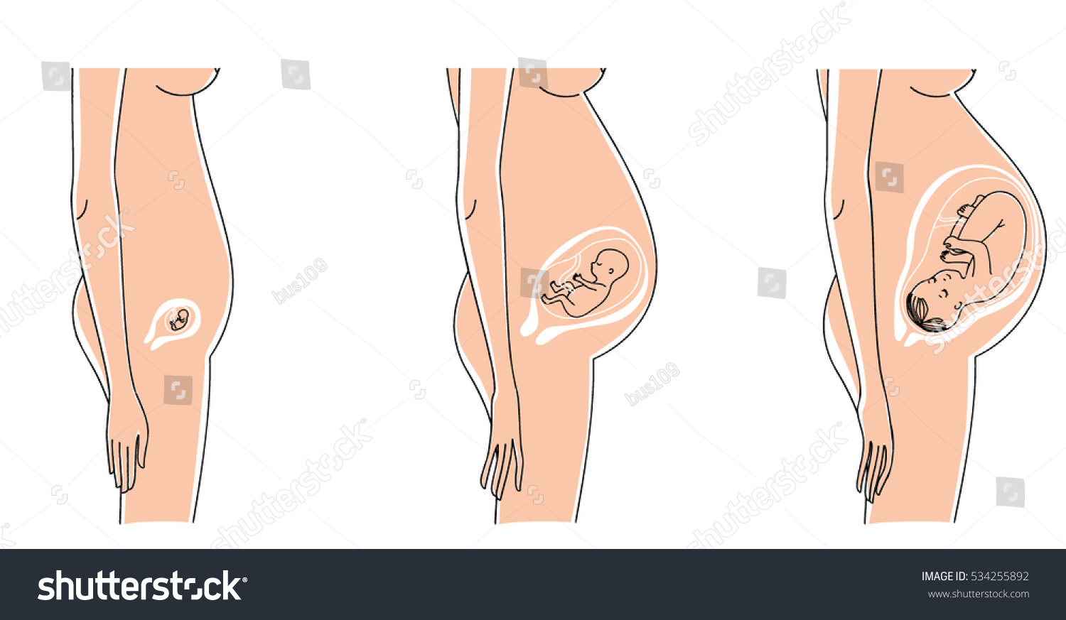 Pregnant Woman Belly Baby Womb Development Stock Vector Royalty