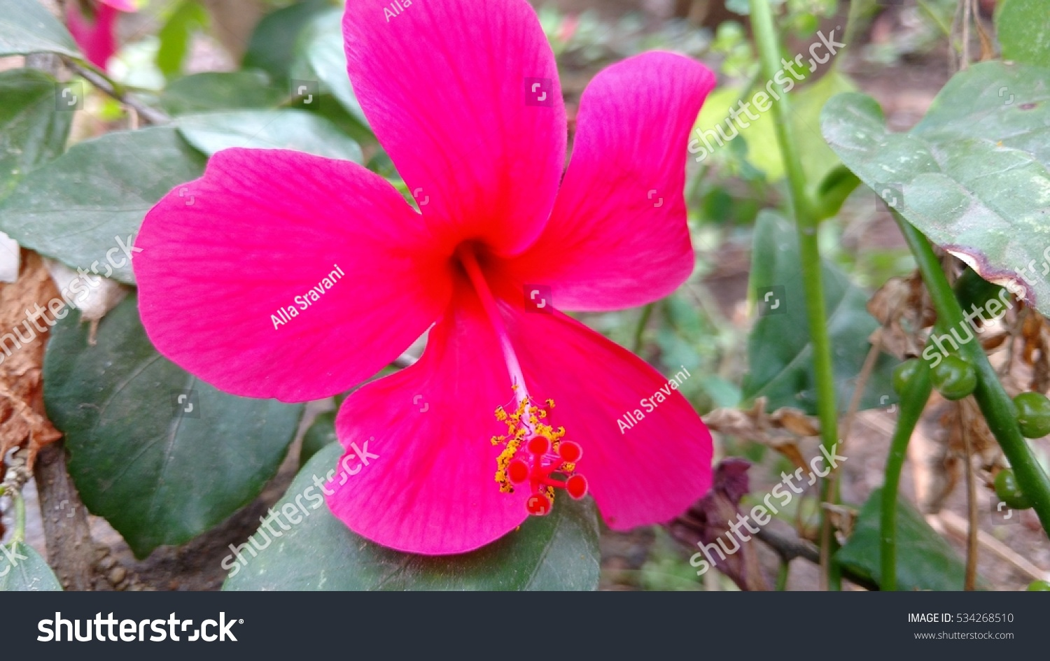 Hibiscus Flowering Plant Available Multiple Colours Stock Photo