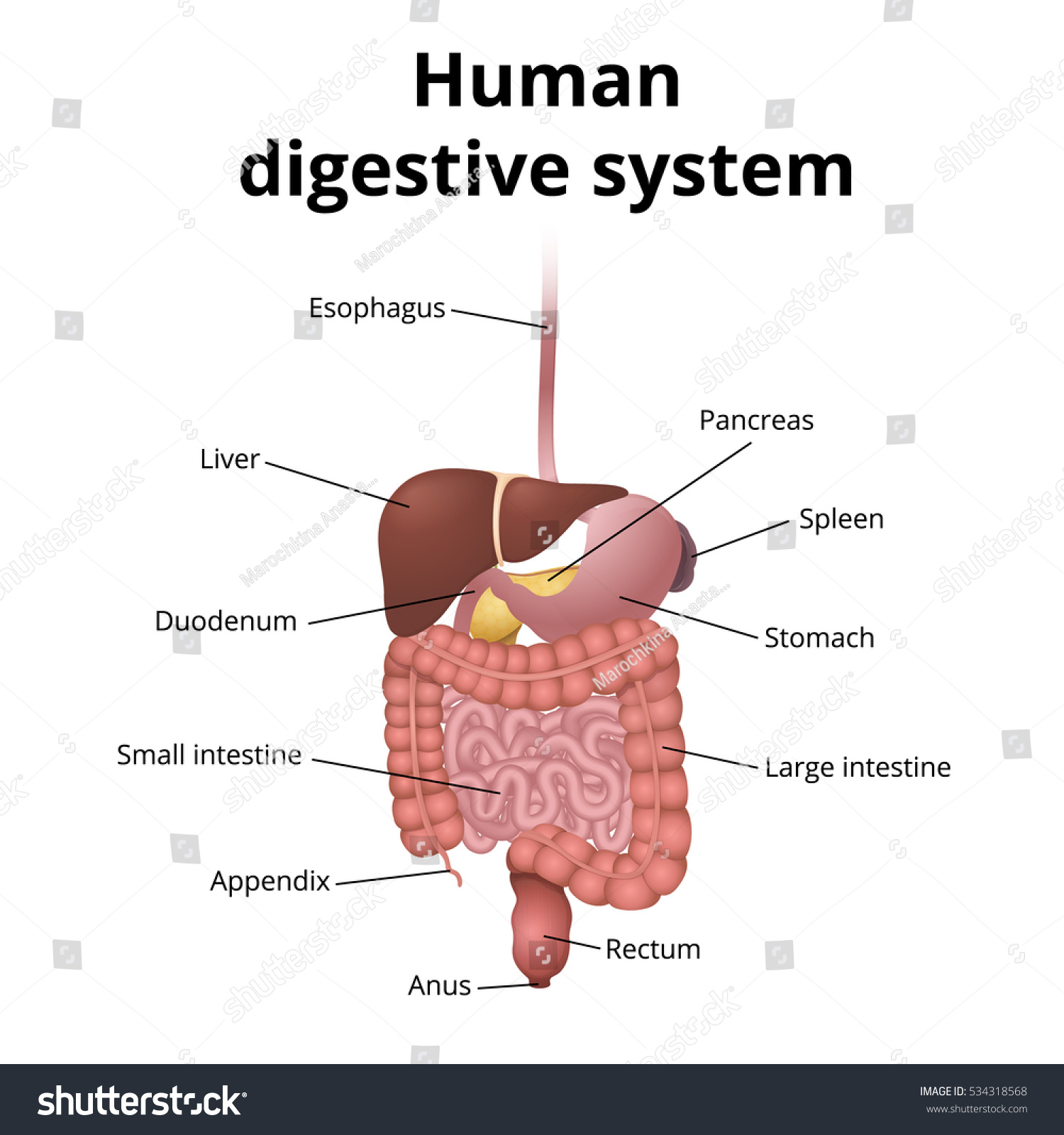 Location Gastrointestinal Tract Body Human Digestive Stock Vector