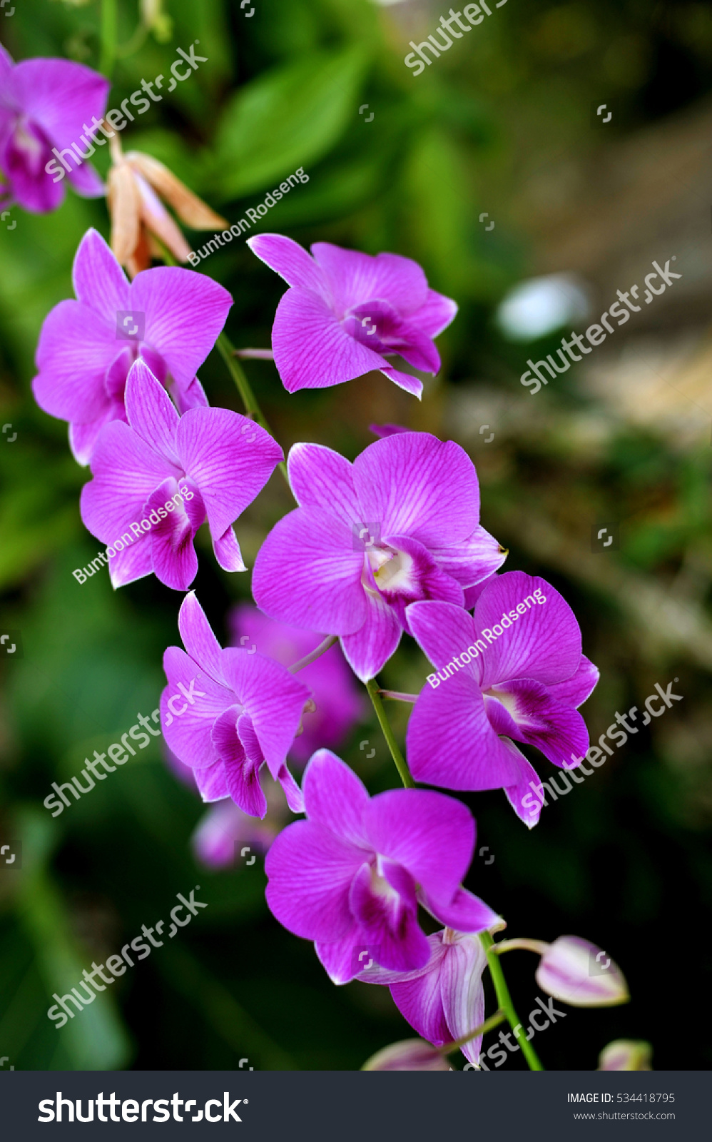 Orchid flowers beautiful orchid natural flowers stock photo edit orchid flowers beautiful orchid natural flowers izmirmasajfo