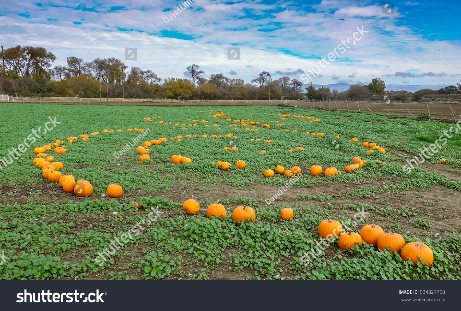 Leftover, unsold pumpkins are arranged in a spiral pattern, as colorful green grass and weeds grow alongside them in a field in the Salinas Valley of Central California.