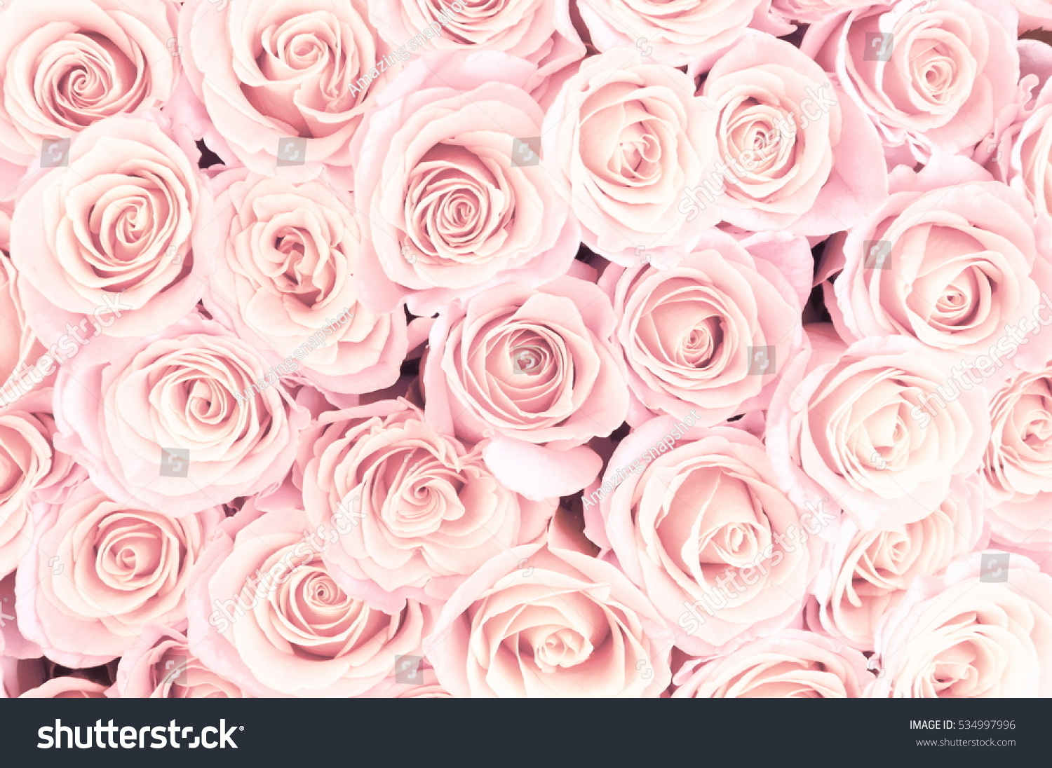 Beautiful Pink Roses Background Soft Focus Stock Photo