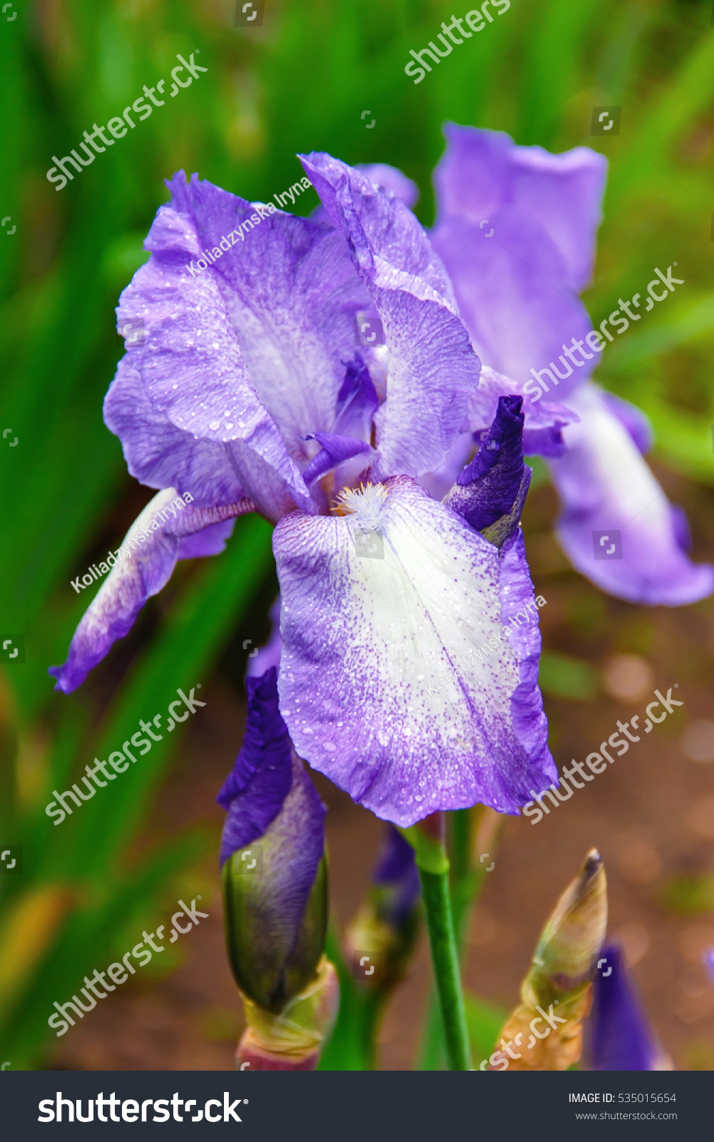 Iris flowers beautiful spring flower bright stock photo royalty iris flowers a beautiful spring flower bright color is different shades izmirmasajfo