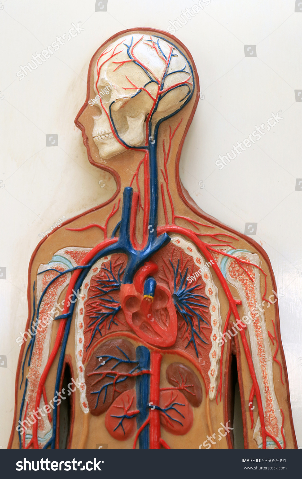 Human Body Blood Vessel Anatomy Learning Stock Photo (Edit Now ...