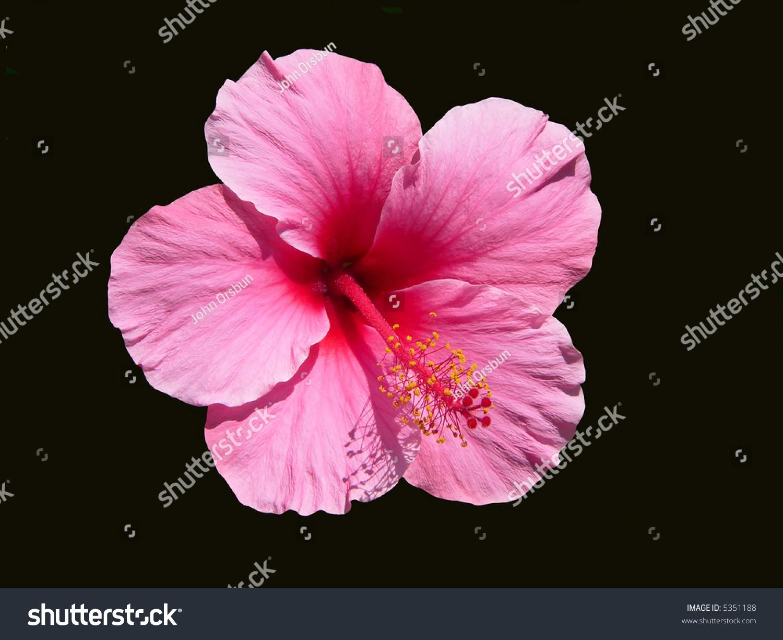 Single pink hibiscus blossom on black stock photo edit now 5351188 a single pink hibiscus blossom on a black background hawaii state flower izmirmasajfo