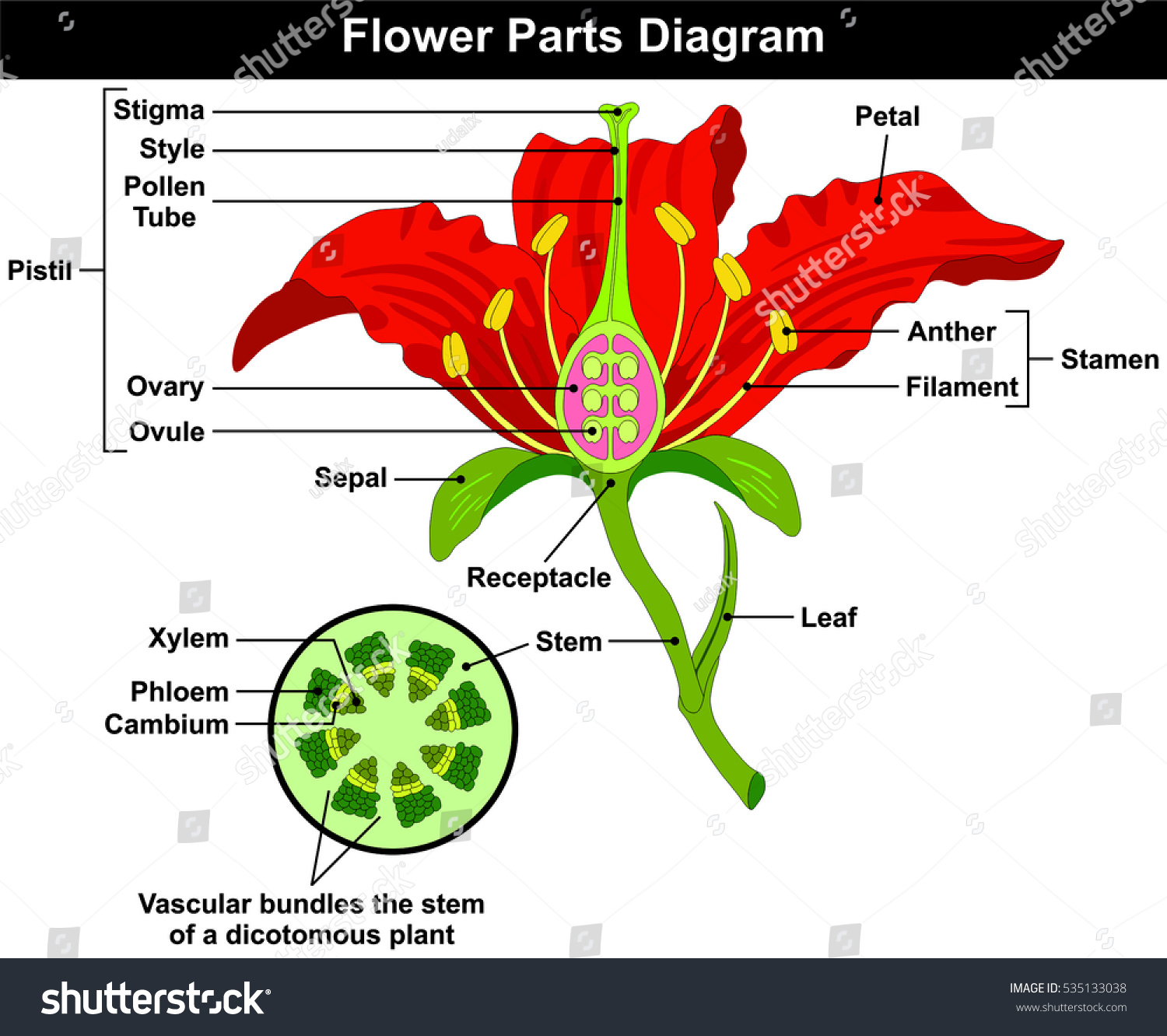 Flower Parts Diagram Stem Cross Section Stock Illustration 535133038