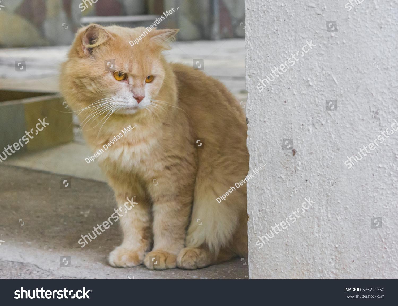 Real Life Garfield Like Cat Persian Animals Wildlife Stock Image 535271350