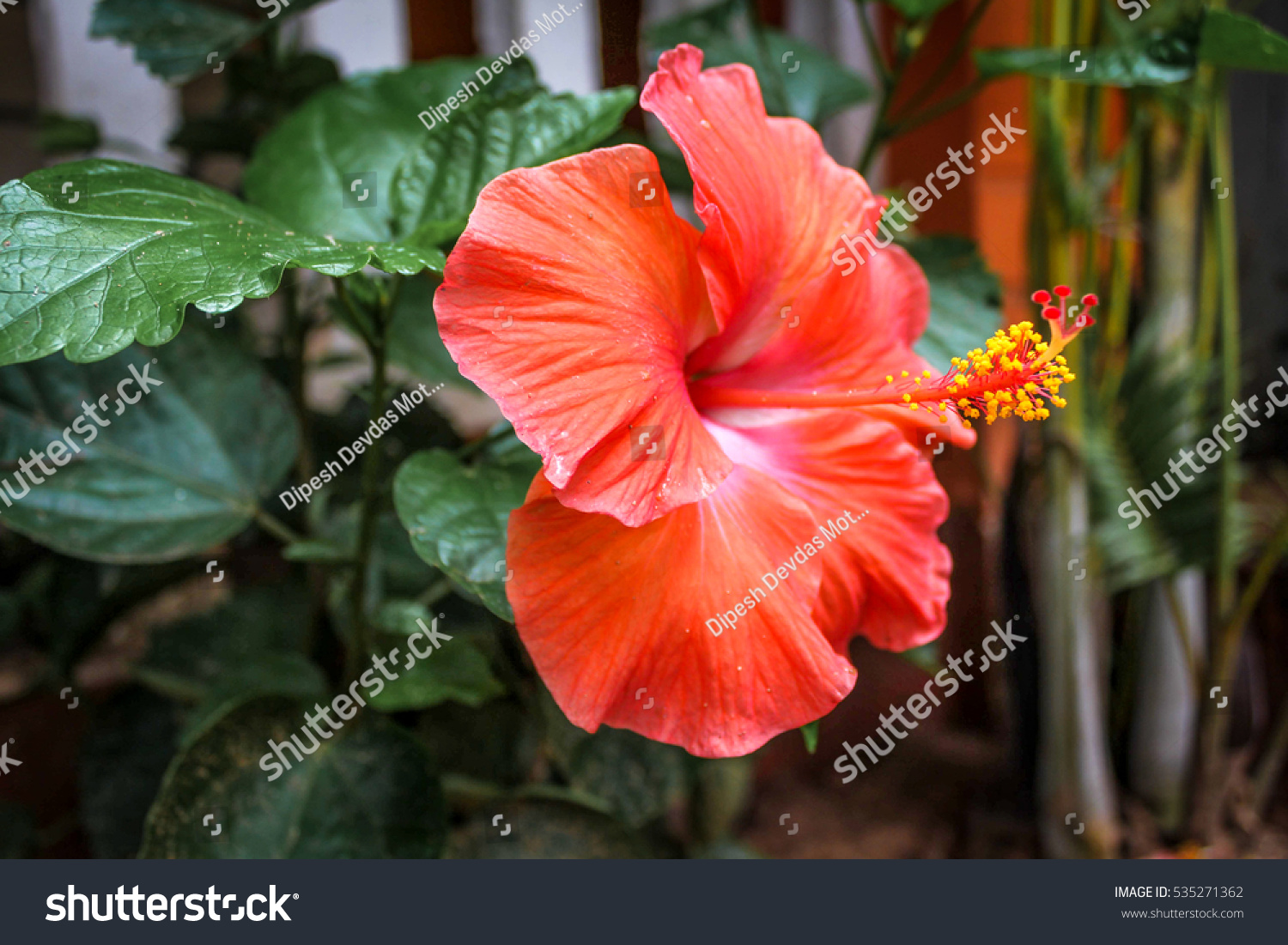 Beautiful Red Jaswand Flower Hibiscus Flower Stock Photo Edit Now