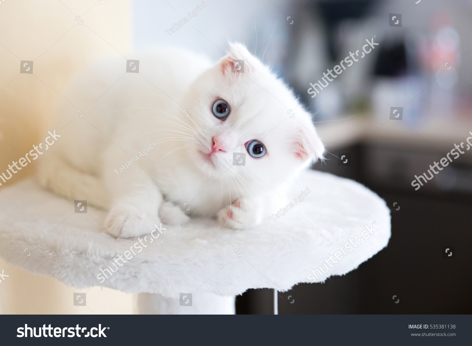 Cute British Little White Cat Blue Stock Photo Edit Now 535381138