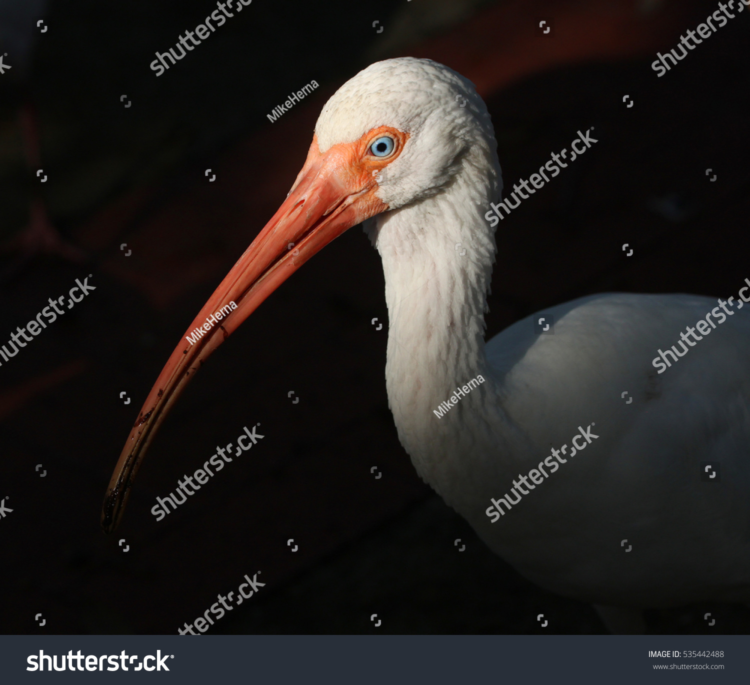 Ibis bird isolated dark background stock photo 535442488 shutterstock ibis bird isolated in a dark background buycottarizona Choice Image