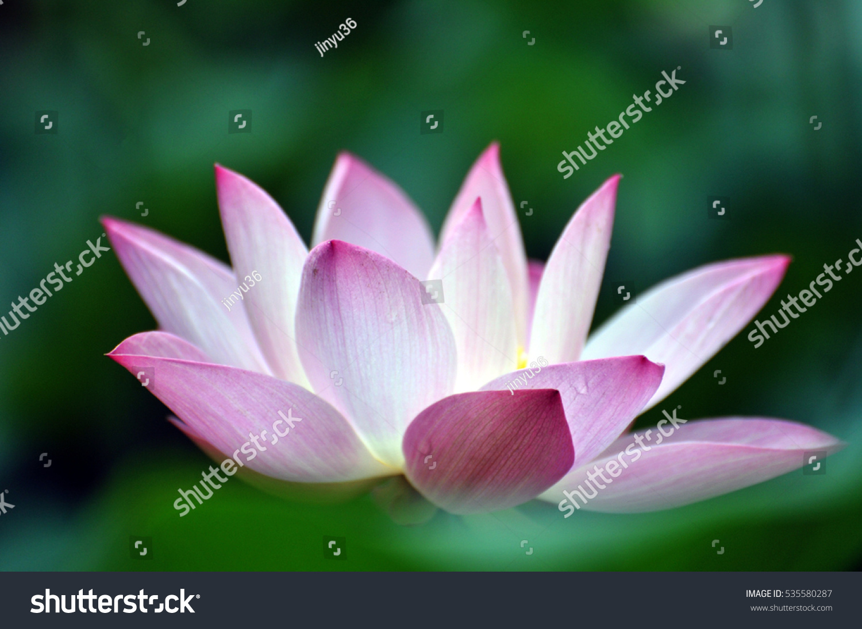 Blossom Pink Lotus Flower In Pond Ez Canvas