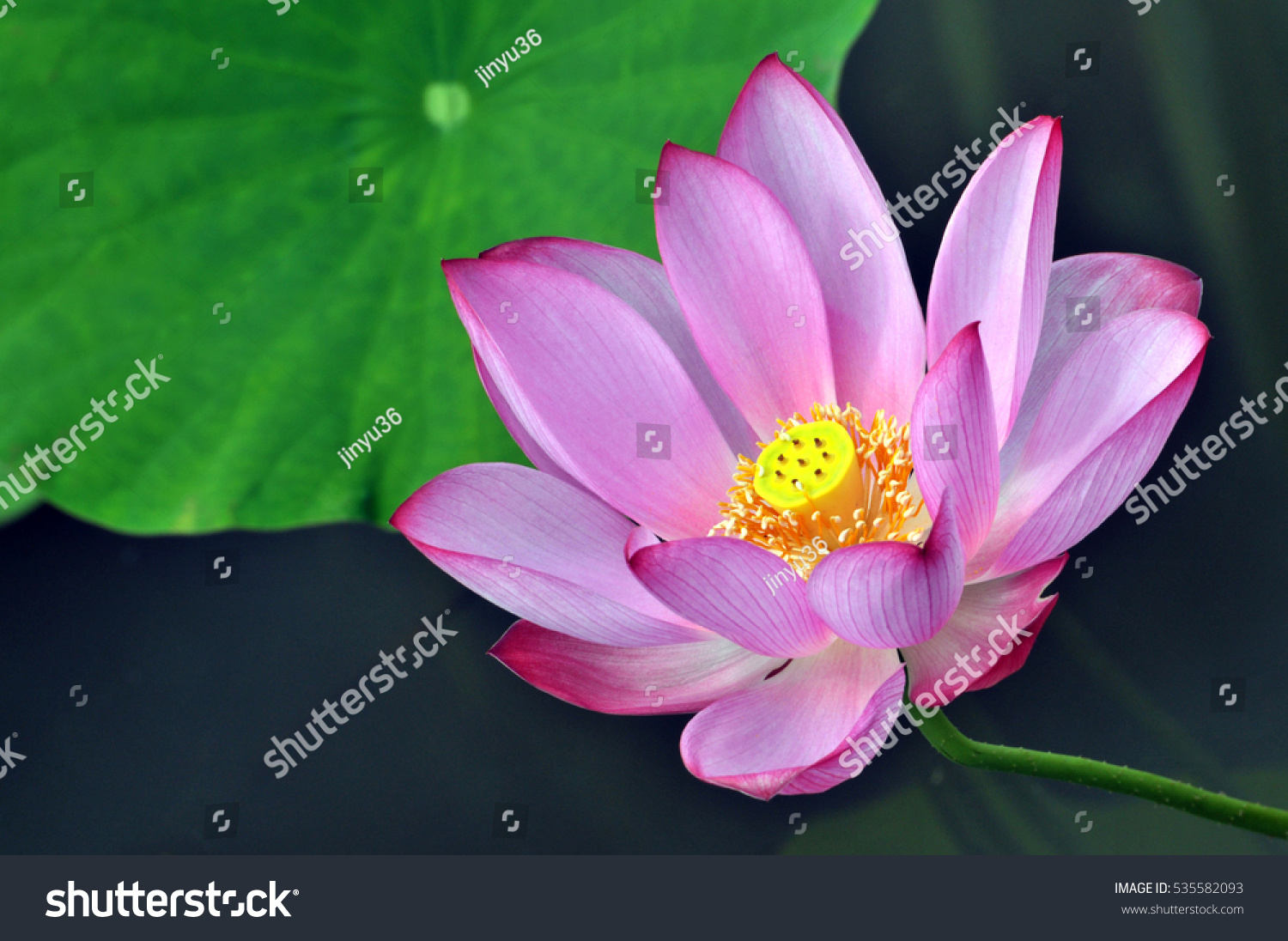 Blossom pink lotus flower pond stock photo 535582093 shutterstock blossom pink lotus flower in pond dhlflorist Images