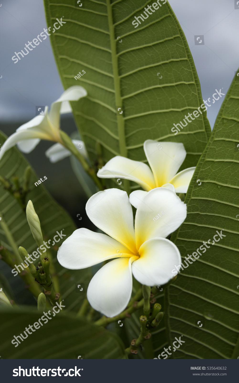 Five Petal White Flowers Frangipani Plumeria Stock Photo Edit Now