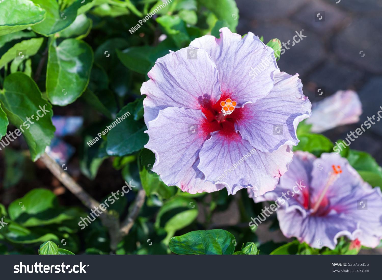 Natural colorful hawaii hibiscus flower selective stock photo natural colorful hawaii hibiscus flower selective focus izmirmasajfo