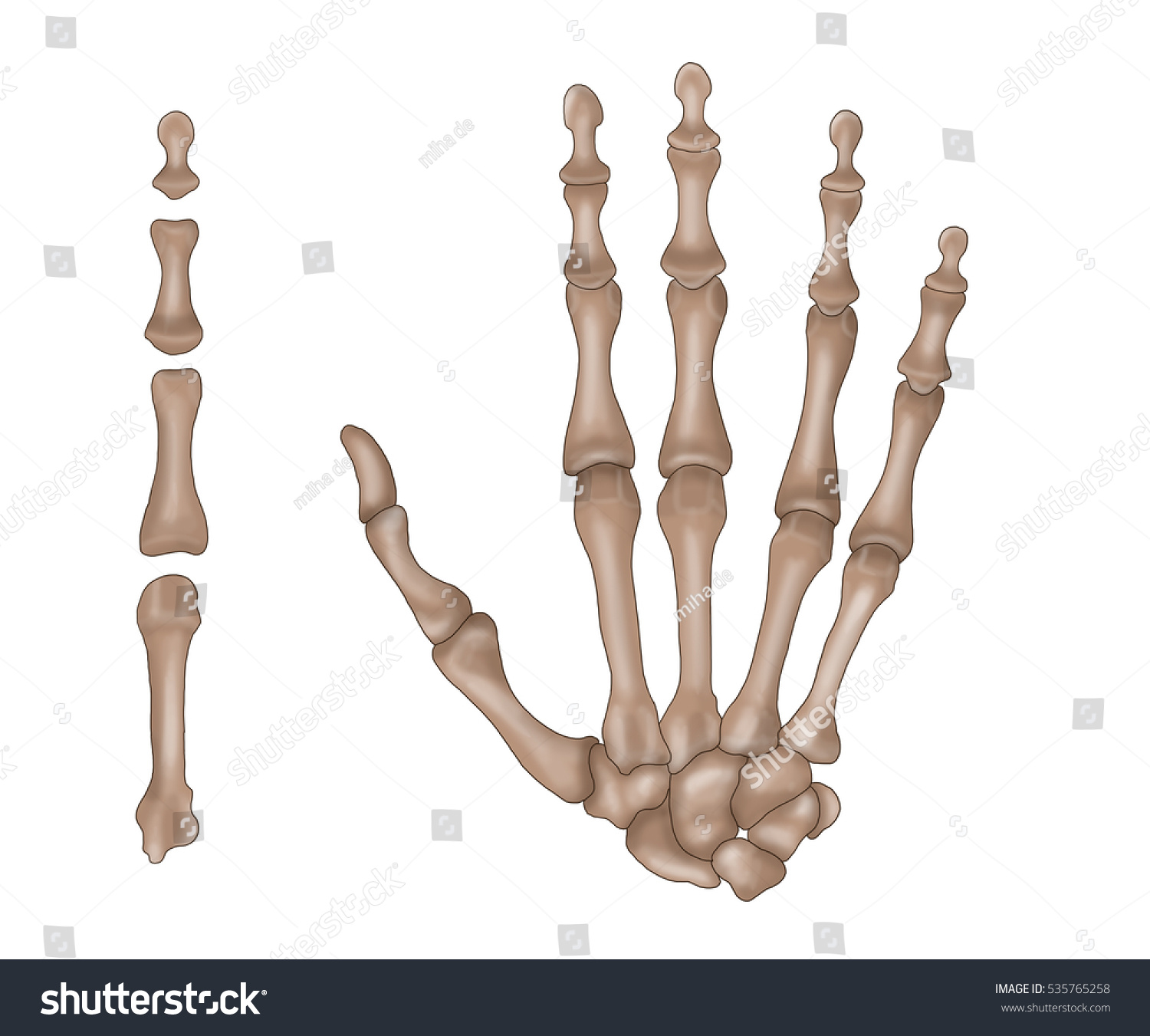 Hand Anatomy Hand Bones Stock Illustration 535765258 Shutterstock