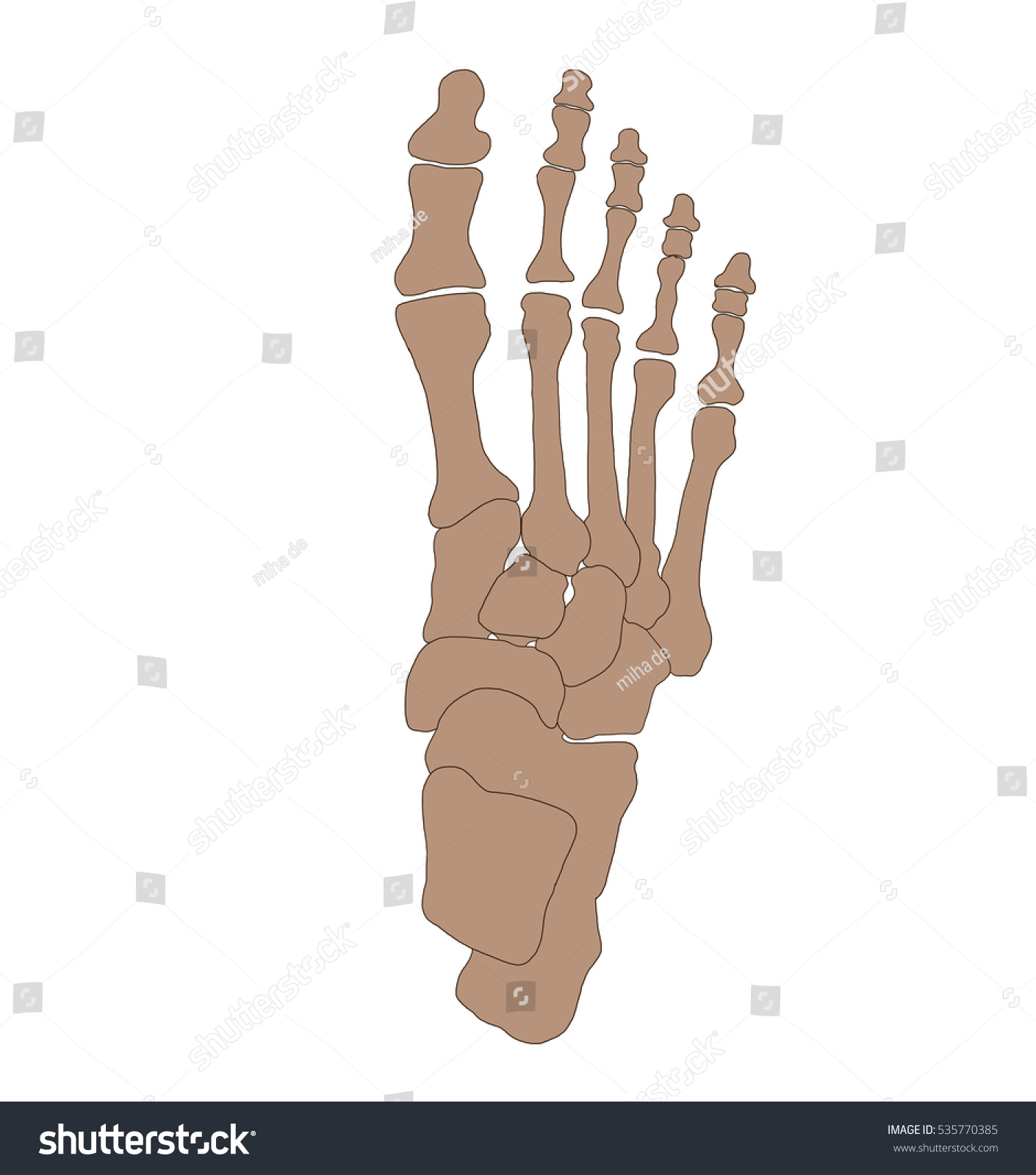Foot Anatomy Foot Bones Stock Illustration 535770385 Shutterstock