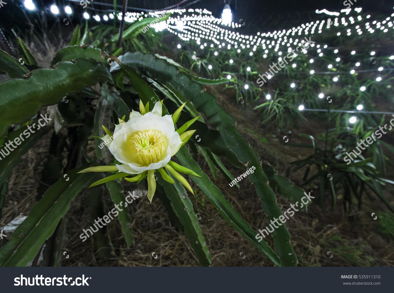 White Flower Pitaya Plant Dragon Fruit Stock Photo Edit Now