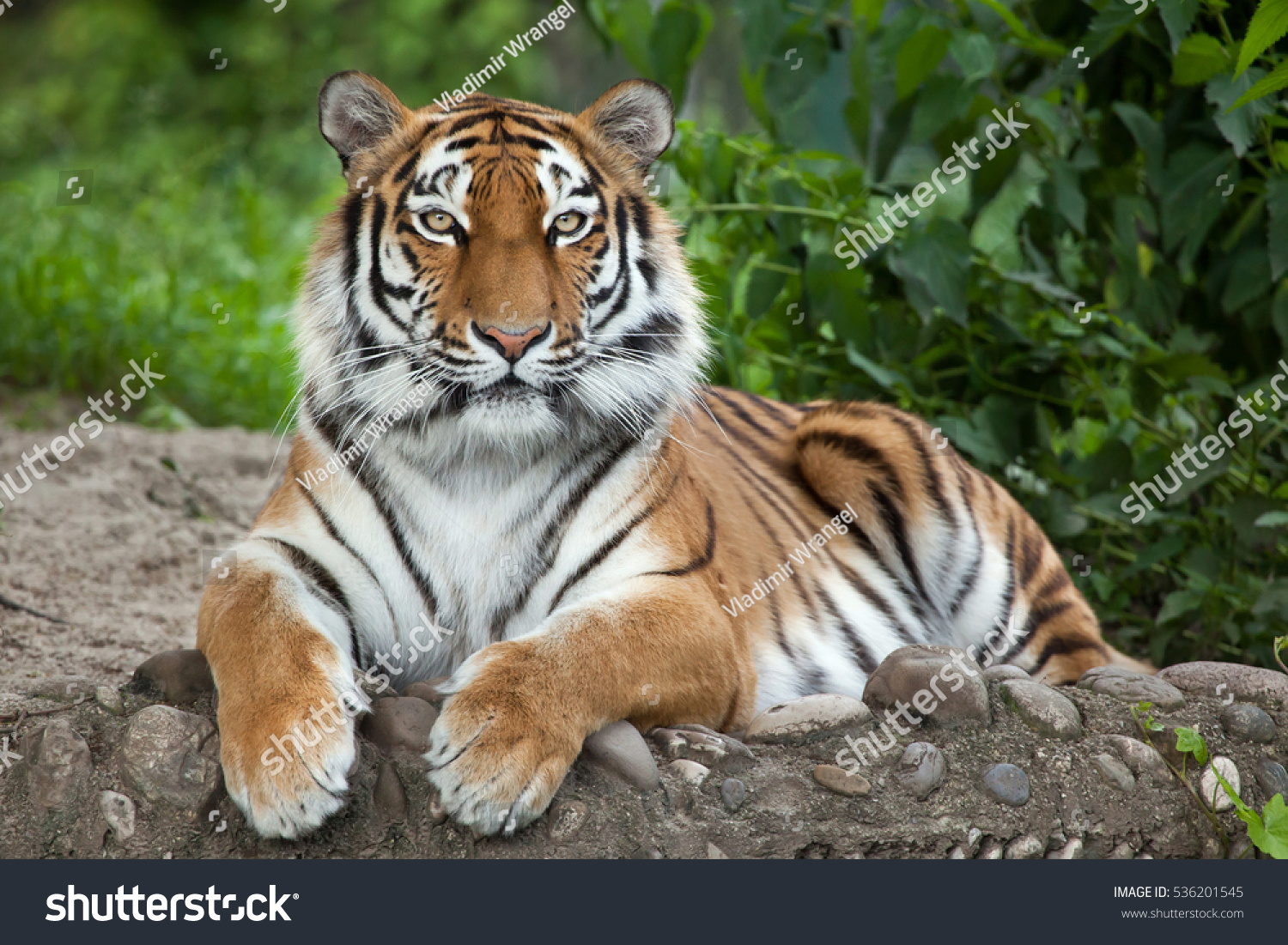 Siberian tiger (Panthera tigris altaica), also known as the Amur tiger. #536201545