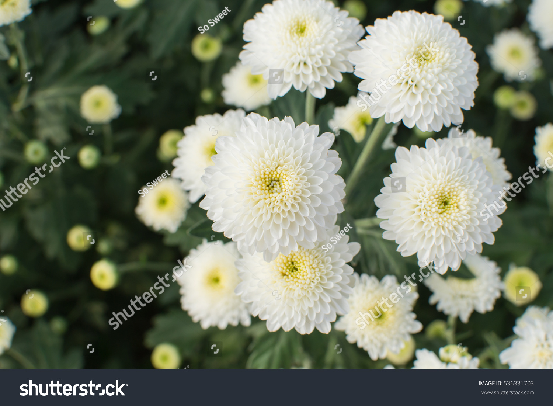 Chrysanthemum White Blooming Beautiful Stock Photo Edit Now