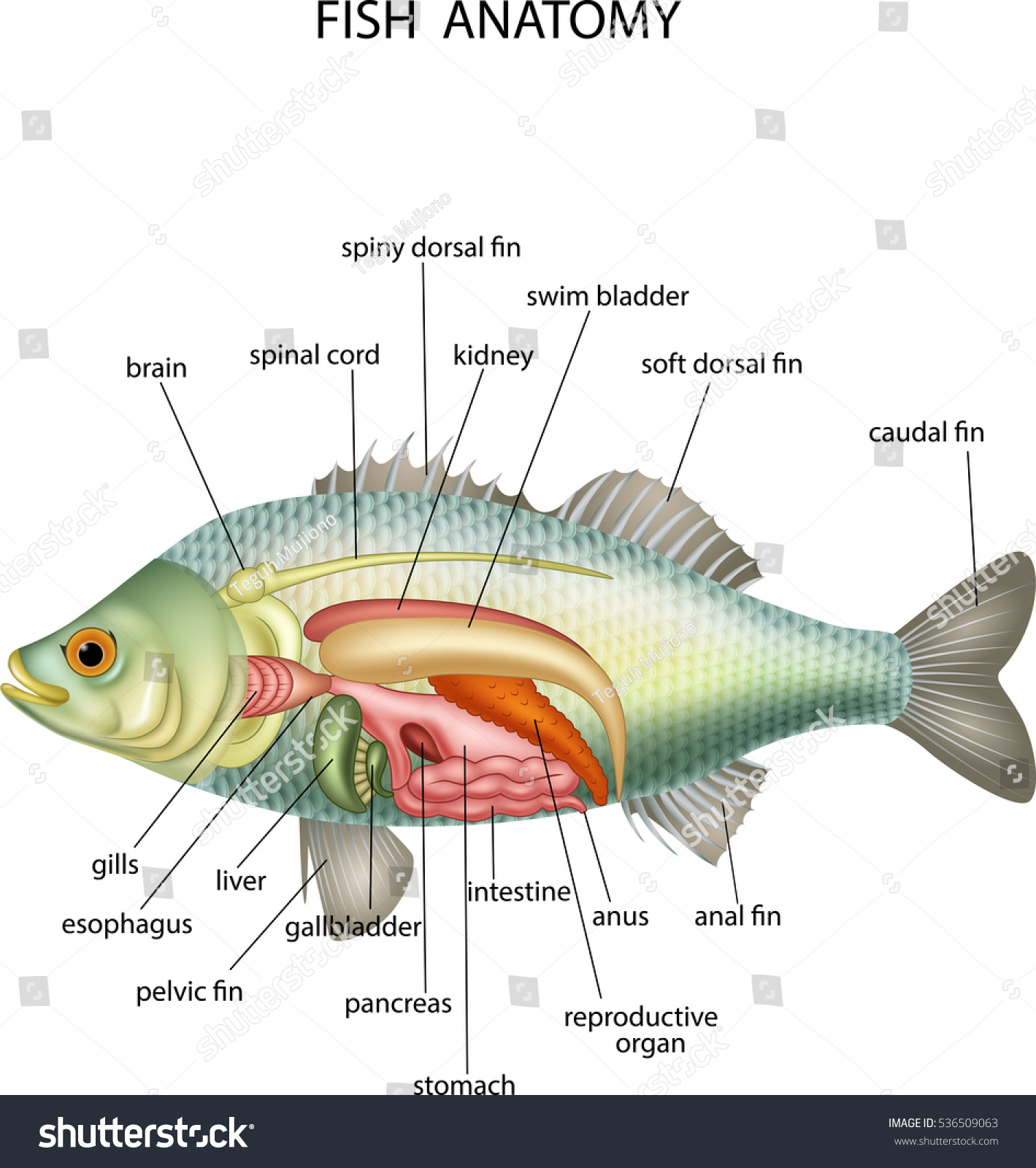 Modern Yellow Perch Anatomy Ensign Physiology Of Human Body Images