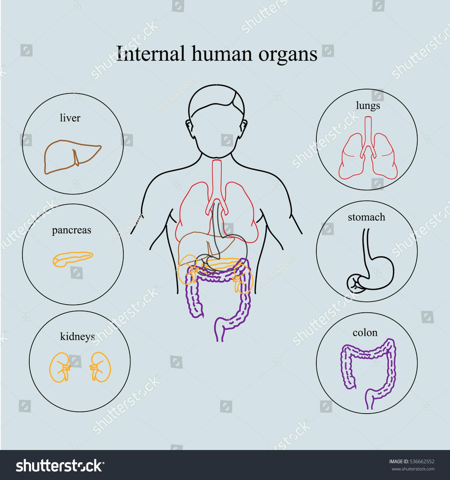 Internal Organs Human Body Anatomy People Stock Illustration ...