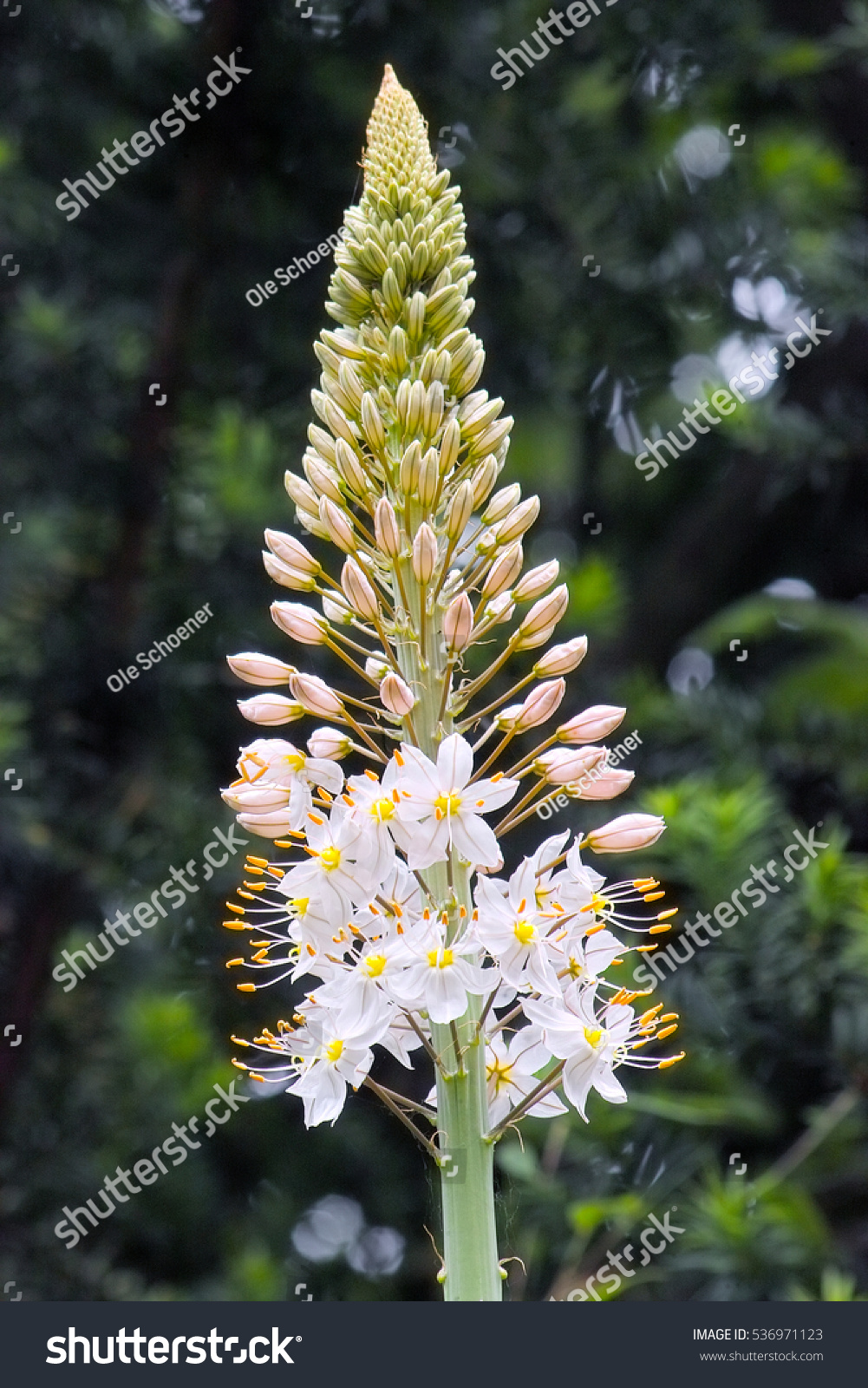 Royalty Free Foxtail Lily Desert Candle Eremurus X 536971123