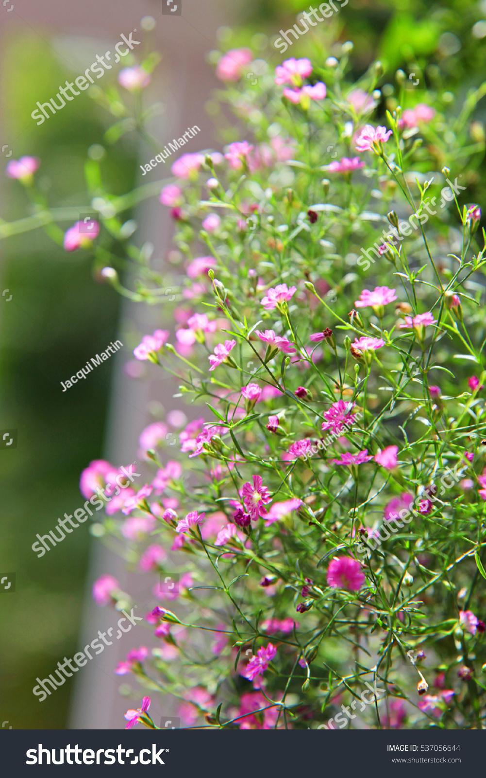 Beautiful Tiny Pink Babys Breath Flowers Ez Canvas