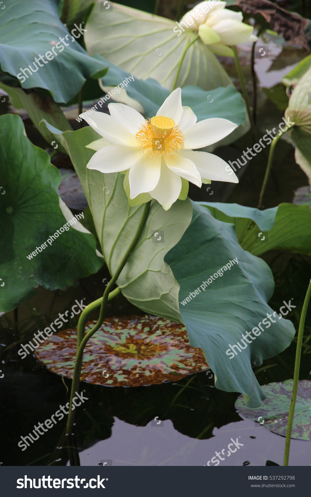 Water Lily Tall Stalk White Petals Stock Photo 100 Legal