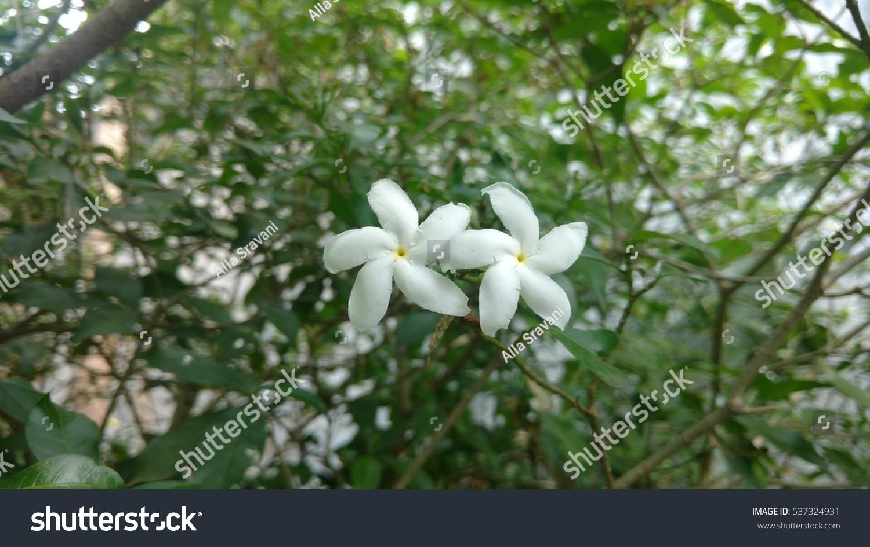 Pin wheel flower called crape jasmine stock photo edit now pin wheel flower is also called as crape jasmine or east india rosebay and neros crown izmirmasajfo