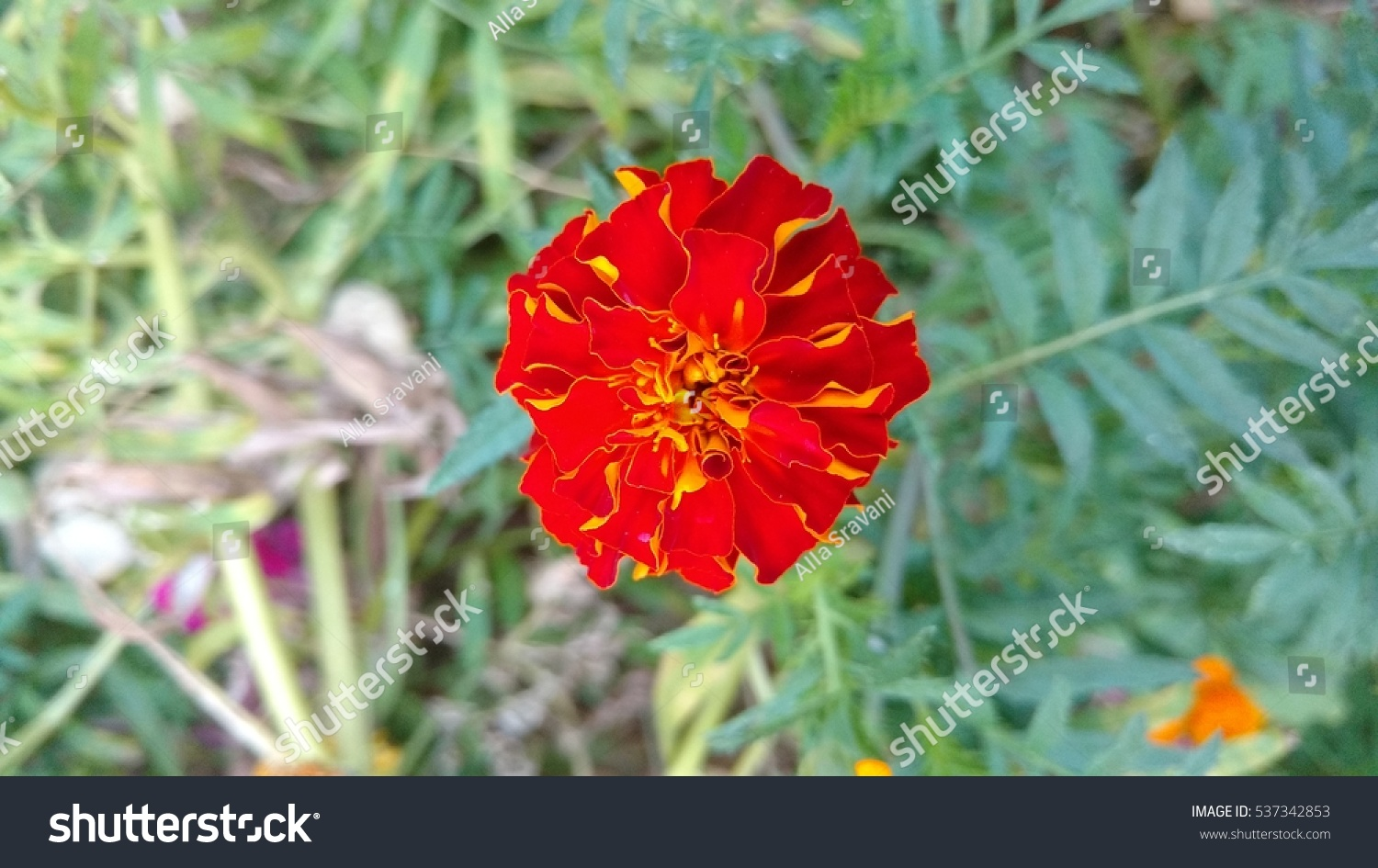 African Marigold Acottage Red Bright Red Stock Photo Edit Now