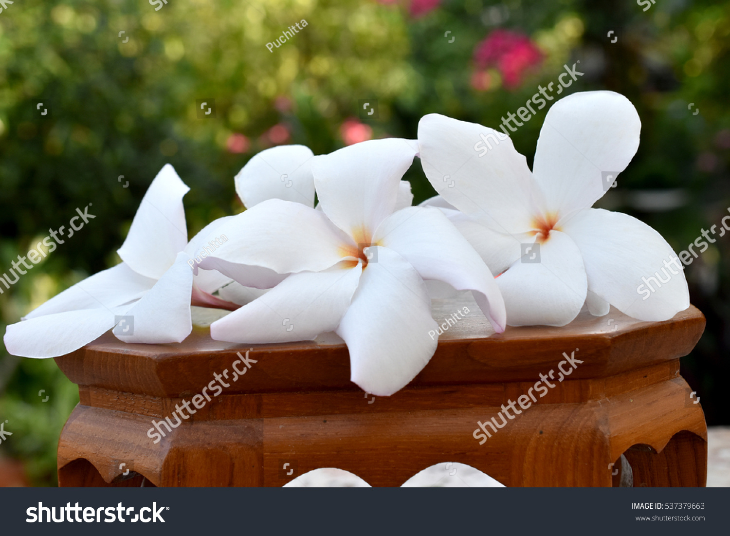 Beautiful White Tropical Flowers Plumeria On Stock Photo Royalty
